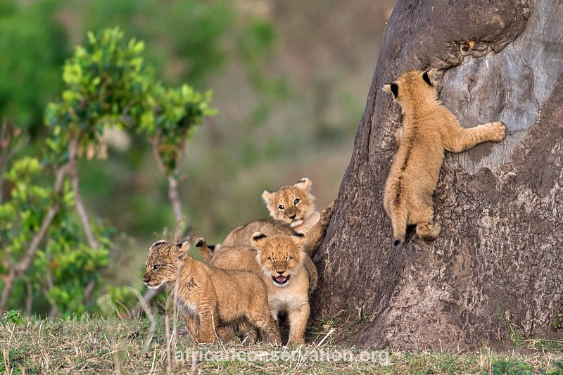 Tree climbing lions of Ishasha